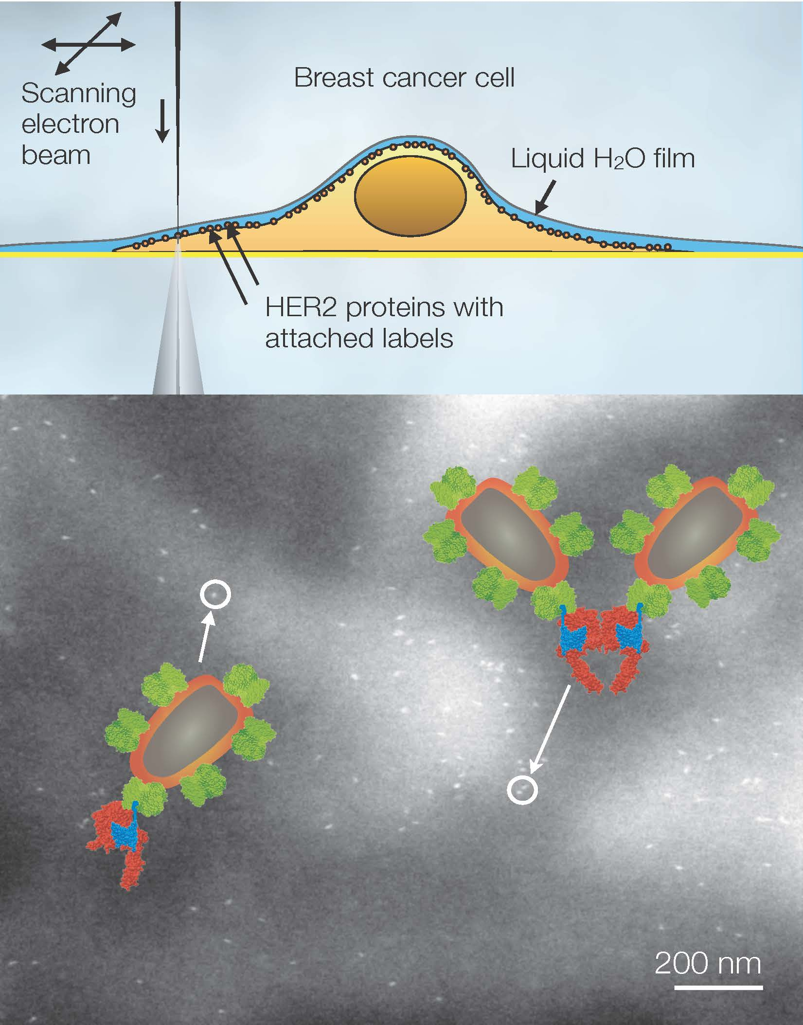 Liquid-phase electron microscopy of HER2 membrane proteins in breast cancer cells. (Top) Principle of operation via scanning an electron beam over a cell grown on a thin supporting membrane. The cell is covered below a thin water film. Contrast is obtained on nanoparticle protein labels. (Bottom) Image showing the locations of individual nanoparticle labels attached to HER2 receptors visible as the bright spots. Signaling-active dimers (pairs) are visible as well as inactive monomers (e.g., at the arrowheads). The overlay shows molecular models of HER2 monomer and dimer with labels. Modified from Sci. Adv. 1:e1500165, 2015.