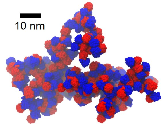 Computational model of an aggregate formed by the congenital cataract-related W42R mutant of human gD-crystallin in a solution at 220 g/L concentration. The N-terminal domains are colored red and the C-terminal domains blue. The aggregates formed by the W42R mutant display enhanced interprotein contacts involving the N-terminal domain, where the mutation is located, vs. the wild-type protein, which displays primarily non-specific interactions at the same concentration.