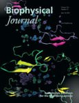 Aβ40 and Aβ42 Alzheimer's peptides on the BiophysJ cover