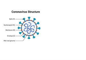 Coronavirus Structure, Vaccine and Therapy Development
